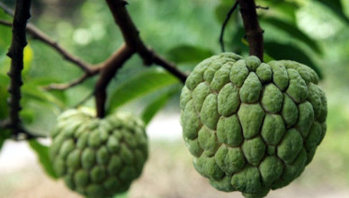 Custard-apple-copy